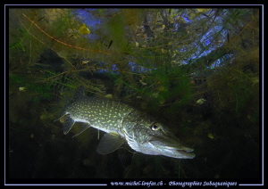 King Pike Fish in his pound... 2 :O)... by Michel Lonfat