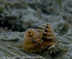 Christmas Tree Worms by Eric Walker
