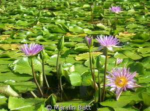 Water lilys floating on the pond at the resort by Marylin Batt