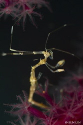 Skeleton Shrimp by Ben Lin