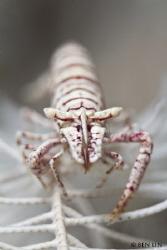 crinoid shrimp by Ben Lin