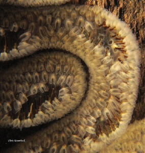 gelatinous colony of freshwater bryozoa