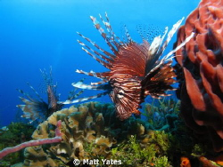 Lion fish by Matt Yates