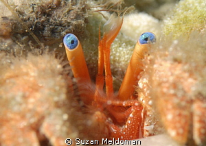 another hermit crab cuteness... couldn't pass this up. by Suzan Meldonian