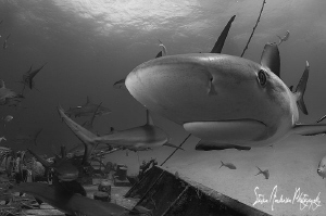 Hello!!!! This Reef Shark ended up on my dome but took of... by Steven Anderson