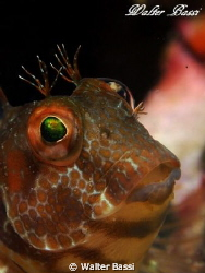 parablennius pilicornis olympus epl-1,flash Sea&Sea ys 1... by Walter Bassi