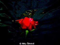 Red rose in swimming poll by Niky Šímová