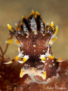 Look at me..... Nudibranch - Polycera hedgpethi by Ken Thongpila