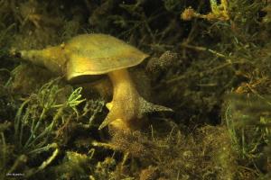 Great pond snail (Lymnea stagnalis) grazing on aufwuchs ... by Chris Krambeck