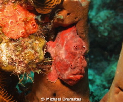 Frog Fish F8, 1/60th,iso100 w/strobe. Shot taken off West... by Michael Drumstas