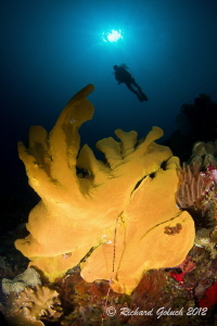 Giant Elephant Ear Sponge-Weda Bay,Halmahera by Richard Goluch