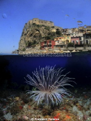 Double exposure. Big cerianthus. by Francesco Pacienza