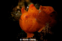 frogfish with shine eyes by Marco Chang