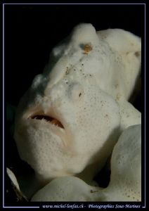 White Frog Fish in the water's of Lembeh Strait... ;O)... by Michel Lonfat