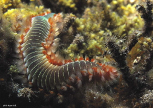 Fireworm,
