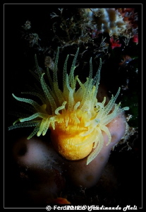 Individual coral (Leptopsammia pruvoti) by Ferdinando Meli