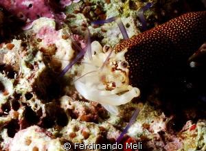 Shrimp (Gnathophyllum elegans) by Ferdinando Meli