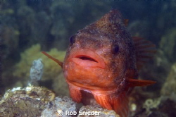 A Lumpsucker, photographed in the Oosterschelde, The Neth... by Rob Snieder