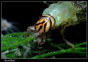 trichoptera :-D by Daniel Strub