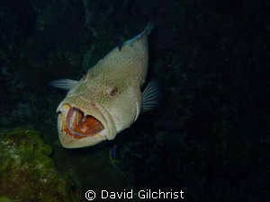 """""""Say,AHHHH!"""" Grouper opening wide for cleaning. Roatan Ho... by David Gilchrist"""