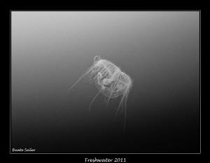 Freshwater jelly fish , smaller than 1/2 inch by Beate Seiler