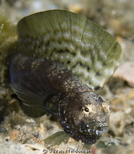 Male Sailfin Blenny in full display and fighting spirit. ... by Suzan Meldonian