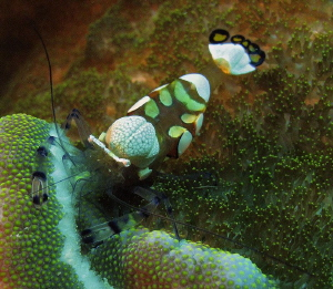 White spotted commensal shrimp