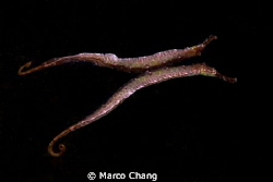 Two-barbel pipe fish by Marco Chang