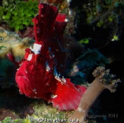 Scorpion Leafe Fish by Jonathan Sala