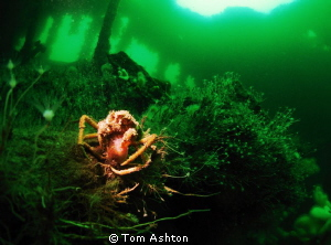 Spider crab inside the Thesis. Snooted by Tom Ashton