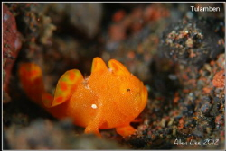 Juvenile Frogfish.Nikon D80,105mmVR. by Allen Lee