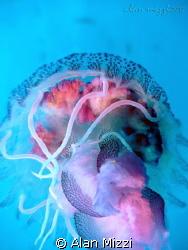 Jellyfish.  Sealife DC1200. by Alan Mizzi