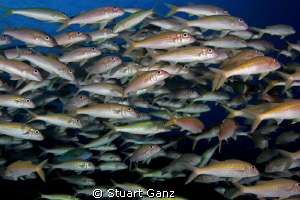 School of goat fish and a few other friends. by Stuart Ganz