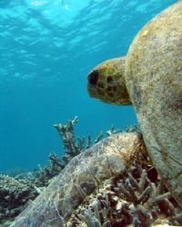 Big, old Green Turtle. Ningaloo Reef, Western Australia by Penny Murphy