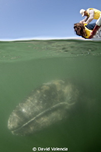This is a gray whale in Lopez Mateos. If you haven't seen... by David Valencia