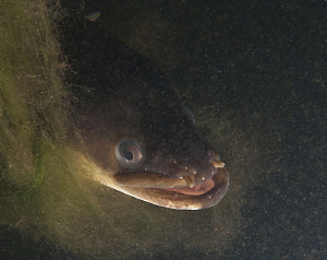 Eel portrait, Plussee. Canon G10, 1x Inon UCL 165, S2000. by Chris Krambeck