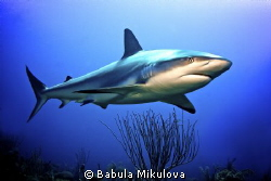 Shark by Babula Mikulova
