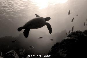 Hawaiian green sea turtle in Sepia. by Stuart Ganz