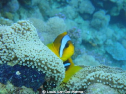 Two-banded anemonefish by Louis Van Der Merwe