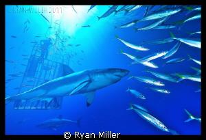 White Shark Isle De Guadalupe Sept 2011 by Ryan Miller