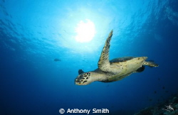 Flying Turtle by Anthony Smith