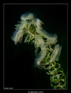 Bryozoans feeding on alge 