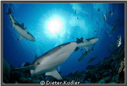 """Under the Sun"", Sharks at Vertigo, Yap Island, Micronesi... by Dieter Kudler"