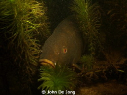 These Tinca tinca was the only positive during my dive la... by John De Jong