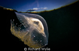 Southern Tailed Jelly Outer Space by Richard Wylie