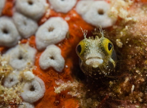 "Secretary blenny @ ""Something Special"" Bonaire   60mm by John Roach"