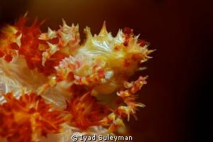 Soft coral crab  by Iyad Suleyman