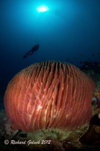 Giant Barrel Sponge-Weda Bay-Halmahera by Richard Goluch
