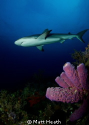 Reef Shark Swimming Over the Reef by Matt Heath
