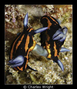 Tambja gracilis by Charles Wright
